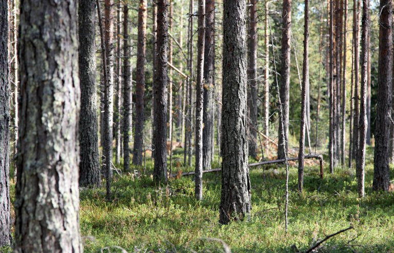 Pine_forest_Haukipudas_Oulu_20130908_01